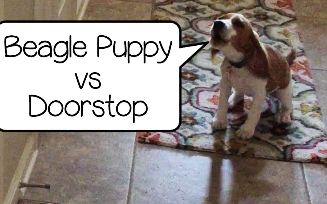Remy the Beagle Pup Attacks Enemy…A Doorstop!?