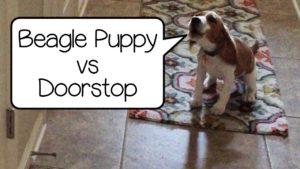 Beagle Puppy Attacks Doorstop