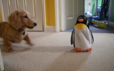 "Adorable Little Dachshund ""Roxy"" Reacts to Penguin Toy"
