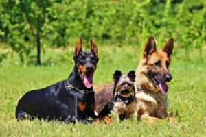 pixabay german-shepherd-doberman