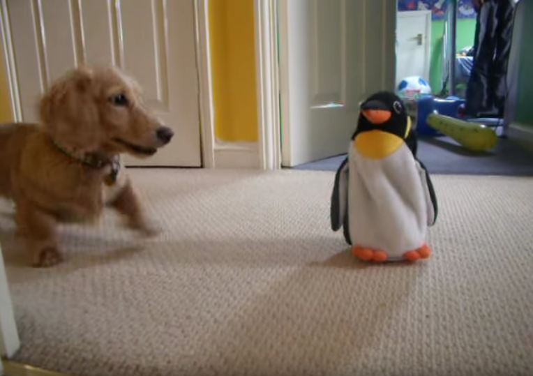 """Adorable Little Dachshund """"Roxy"""" Reacts to Penguin Toy"""