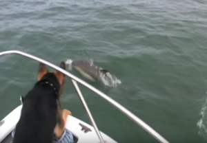 German Shepherd Dog Jumps On Dolphins