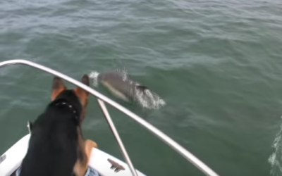 Maverick The German Shepherd Jumps On Dolphins