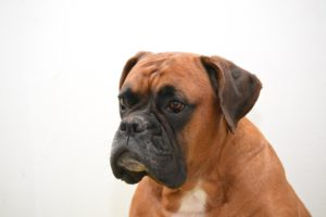 Dog house for Boxer