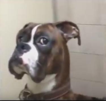 Boxer Dog Gives Owner Epic Side Eye for Leaving Him