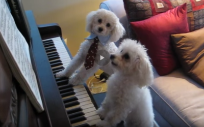 Piano Playing Poodles?  Precious!