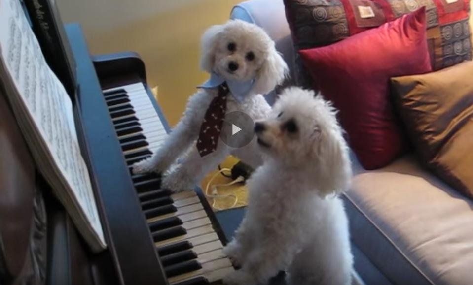 Piano Playing Poodles?  Precious!